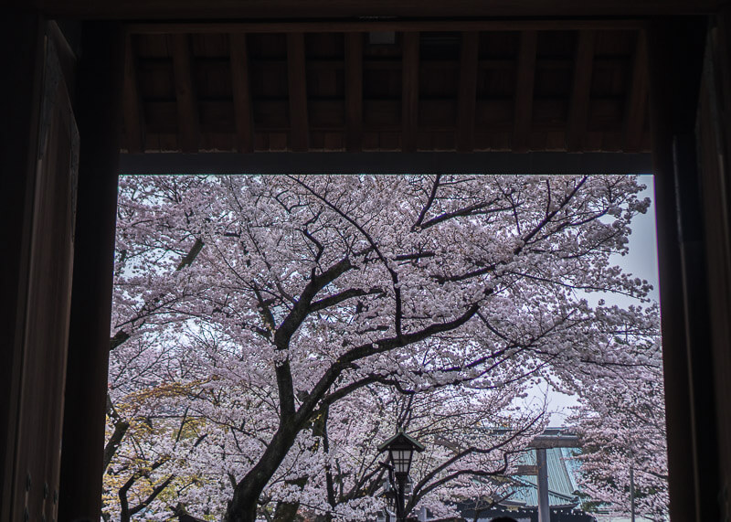 nomadic life new zealand japan - japan cherry blossoms photography