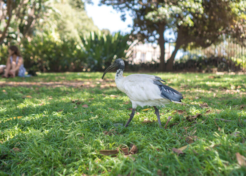 sydney travel blog - sydney birds