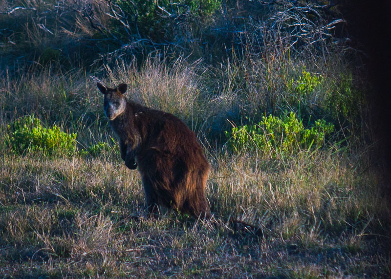 Great Ocean Road Tour From Melbourne - wallaby