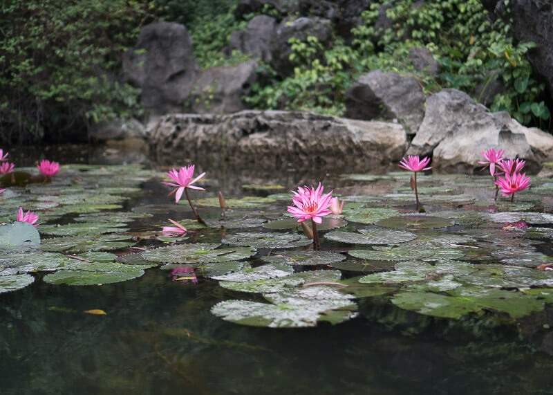 Trang An Grottoes tour - pink lotus flowers