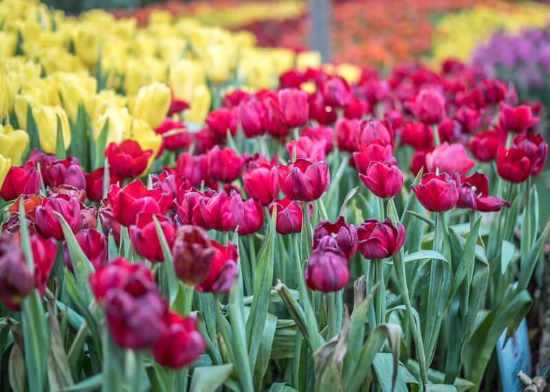 chiang mai flower festival - roses
