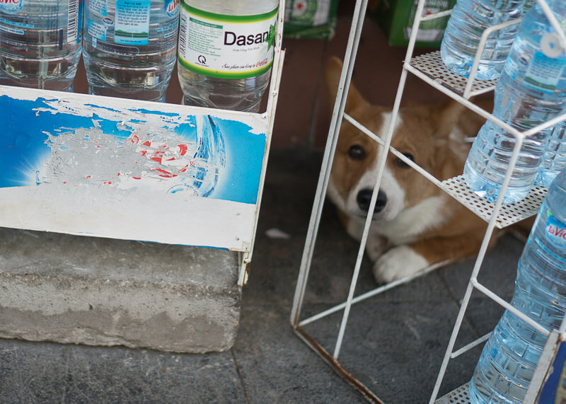 corgi hiding on the street | Chinese new year of the dog
