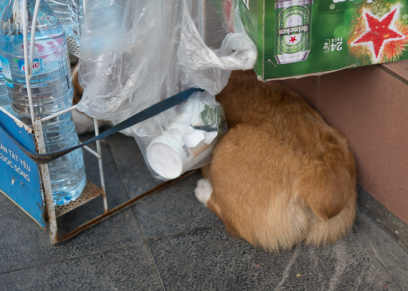 corgi hiding on the street   Chinese new year of the dog