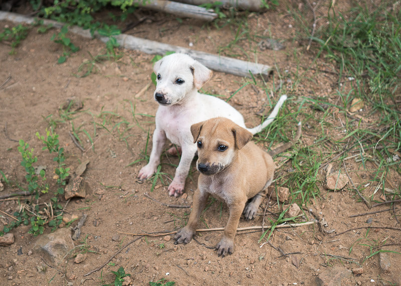 pair of puppies in bagan | Chinese new year of the dog