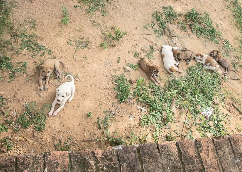 family of puppies in bagan | Chinese new year of the dog