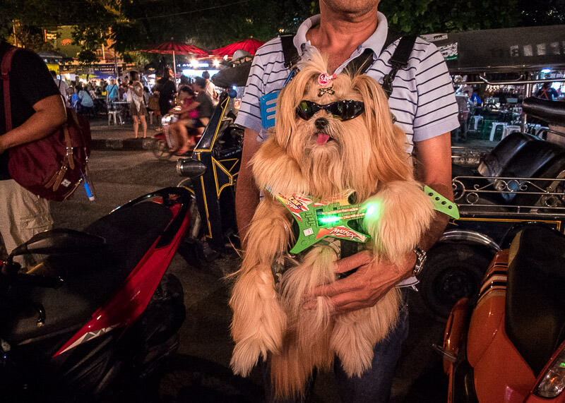 cute dog with sunglasses in chiang mai | Chinese new year of the dog