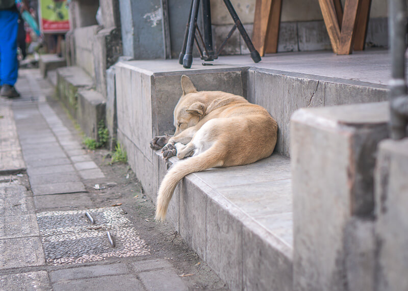dog taking a nap in bali | Chinese new year of the dog
