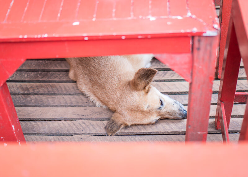 dog sleeping under table | Chinese new year of the dog