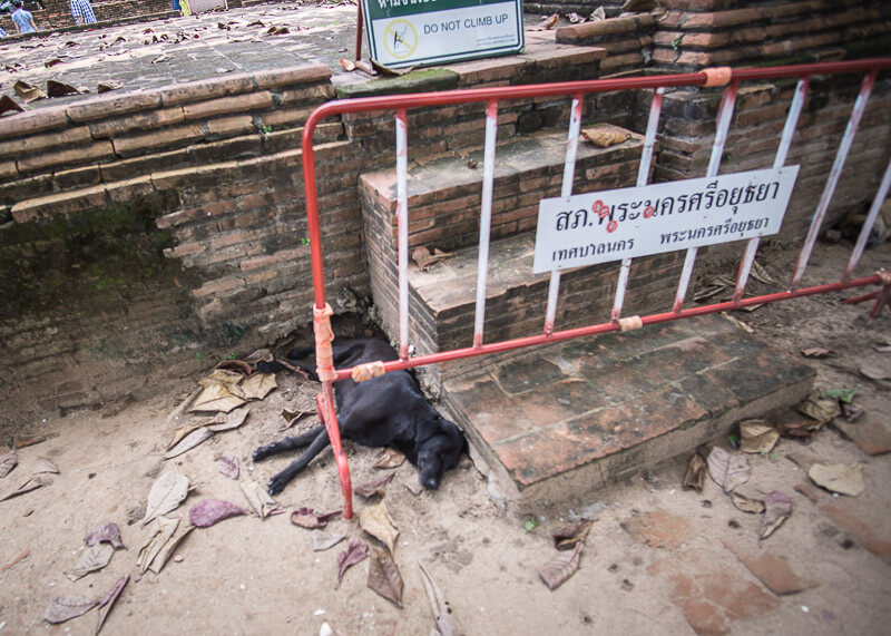 A napping dog in Ayutthaya | Chinese new year of the dog