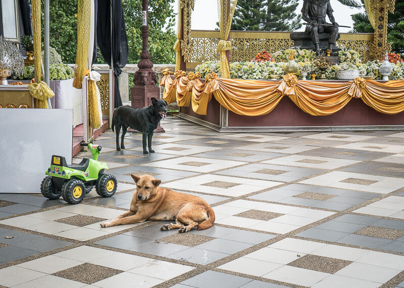 Temple dogs in Doi Suthep | Chinese new year of the dog