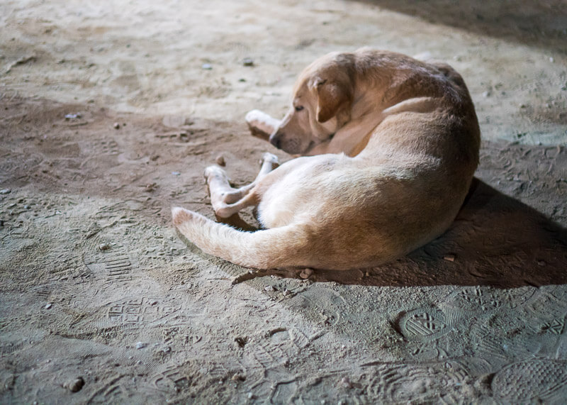Dog sleeping | Chinese new year of the dog