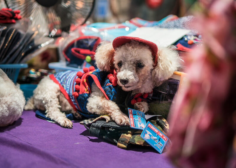 dressed up dog in chiang mai nightmarket | Chinese new year of the dog