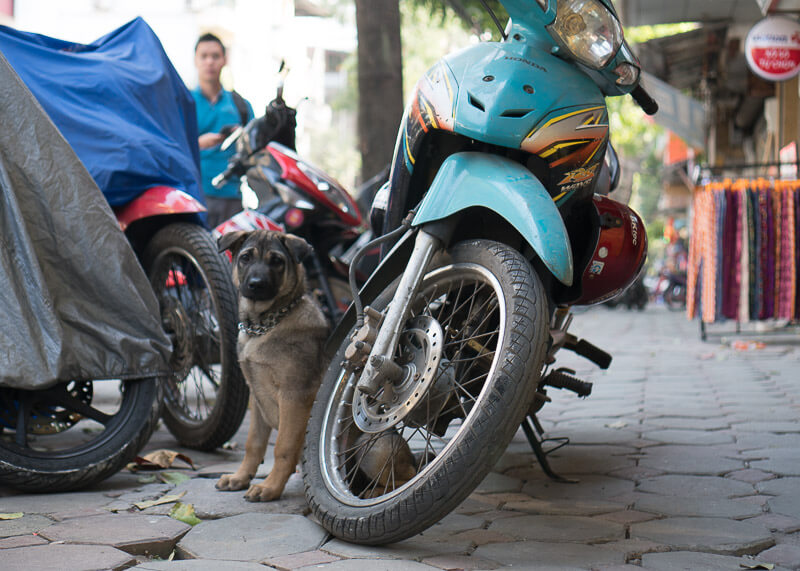 dogs by bike on hanoi street | Chinese new year of the dog