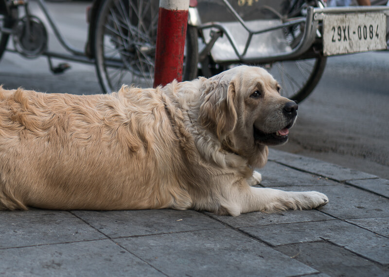 golden retriever lying on side of street   Chinese new year of the dog