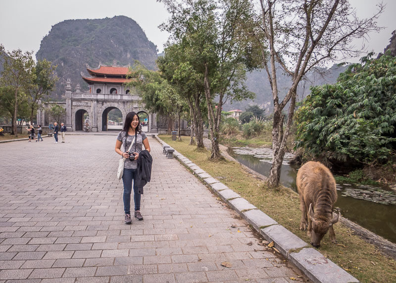 ninh binh travel blog - cow walking by