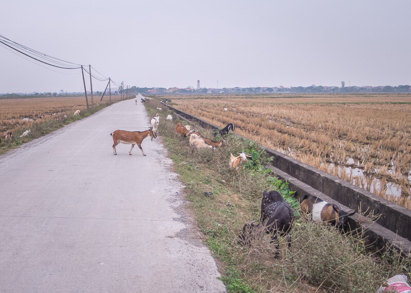 ninh binh travel blog - goats on the road